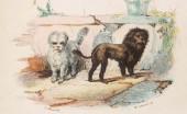 bishon-lion_1
