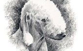 bedlington-terier_18