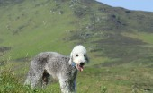bedlington-terier_19