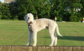 bedlington-terier_20