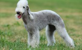 bedlington-terier_8