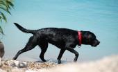 Labrador_15