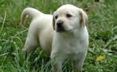 Labrador_20