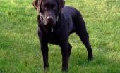 Labrador_7